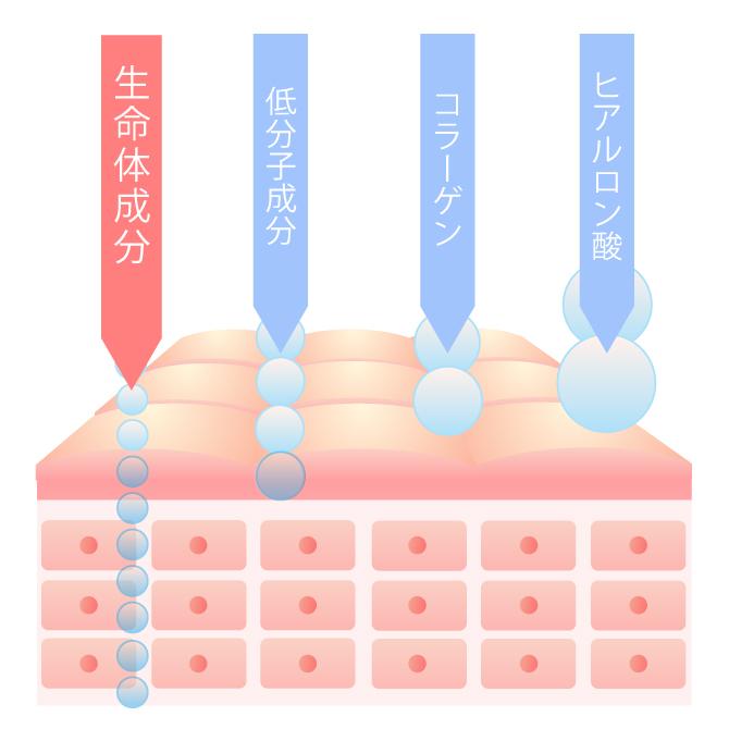 生命体成分の浸透率